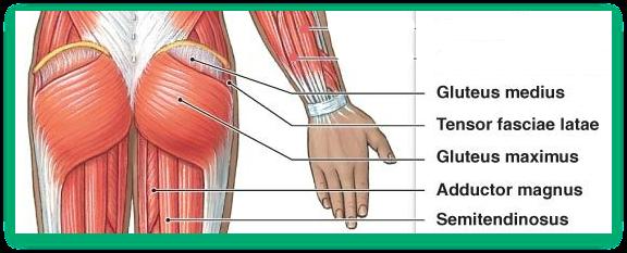 human anatomy posterior chain